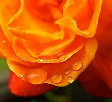 Rain Drops on an Orange Rose by Erika  Hastings