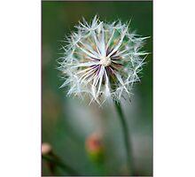 Dandy flower,FNQ. Photographic Print