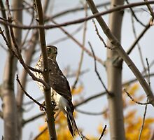 Red Tail Hawk by NewfieKeith