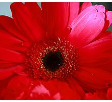 Big Red Gerber Daisy Photographic Print