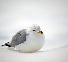 Gulls Winter Pose by Karol Livote