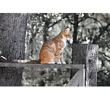 Tabby on a Fence Photographic Print