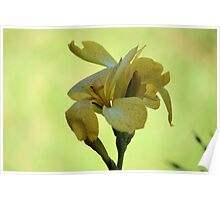 Canna Gold Poster