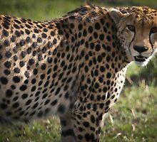 Cheetah by Jill Fisher