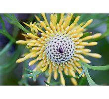 Drumstick  (Isopogon anemonifolius) Photographic Print
