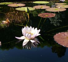 Waterlily Reflection by dandefensor