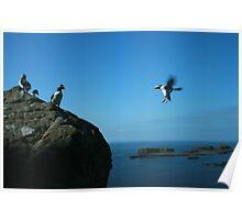 Puffin landing Poster