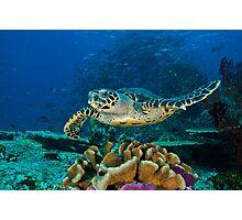 Hawkesbill Turtle Photographic Print