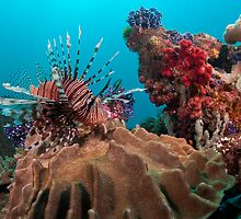 Lion Fish, Papua New Guinea by Allan Saben