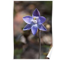 Spotted Sun Orchid - Thelymitra ixioides Poster