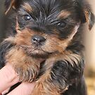 Teacup Yorkshire Terrier by Abigail Jennings