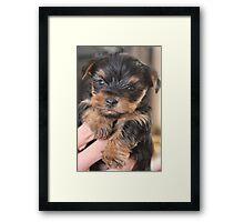 Teacup Yorkshire Terrier Framed Print