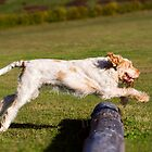 Orange & White Italian Spinone Dogs in Action I by heidiannemorris