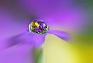 Aubretia rain drop by Lyn Evans