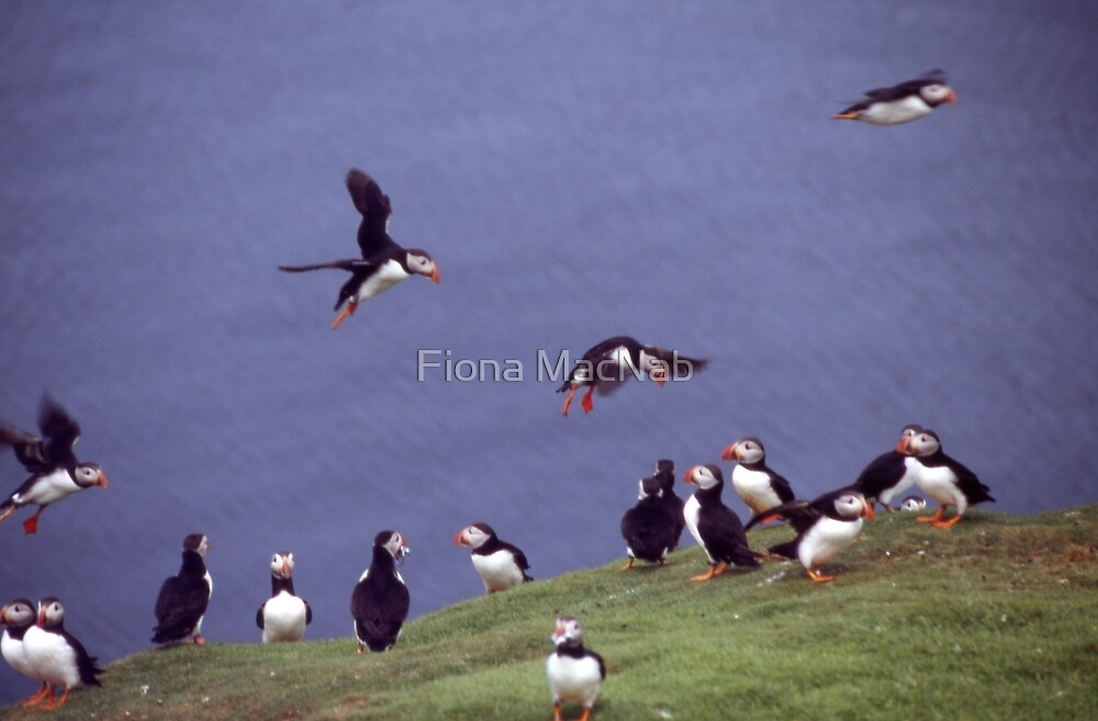 Puffin gathering by Fiona MacNab