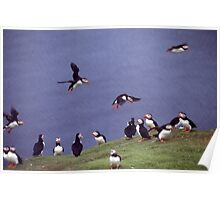 Puffin gathering Poster