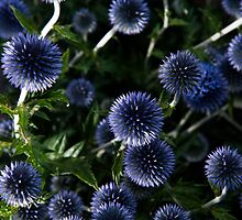 Flash on Echinops by Christopher Cullen