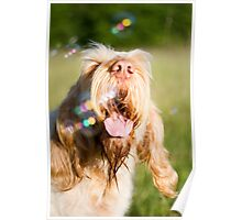 Orange & White Italian Spinone Dog Head Shot with Bubbles Poster