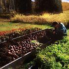 Harvesting the Crop by RC deWinter