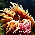 Red Sea Anemone © by jansnow