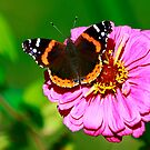 Red Admiral by Brenda Burnett