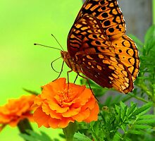 Butterfly on Marigold by Veronica Schultz