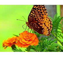 Butterfly on Marigold Photographic Print
