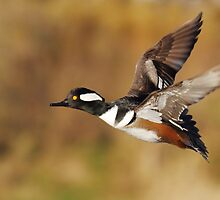 Hooded Merganser by Alinka