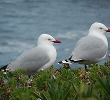 Couple of Seagulls - Kaikoura, New-Zealand. by jos2507
