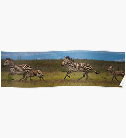 Zebra, Botlierskop Game Reserve Poster