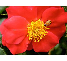 Governor General's Rose 8 - with a visitor Photographic Print