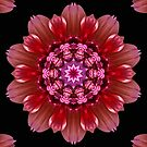 Dahlia Kaleidoscope. by Lee d'Entremont