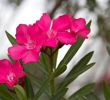 Red Flowers on shrub or small tree by Sam Matzen