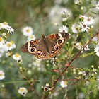 Autumn Wings - Common Buckeye 4 by WalnutHill