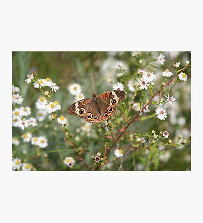 Autumn Wings - Common Buckeye 4 Photographic Print