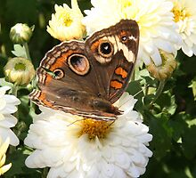 Autumn Wings - Common Buckeye 1 by WalnutHill