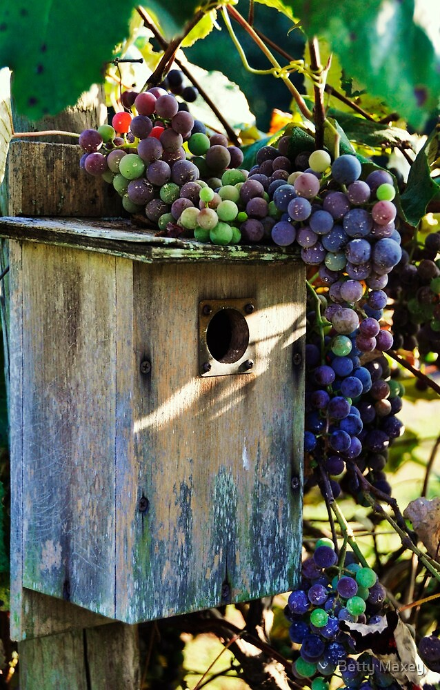 Grapes..... by Betty Maxey