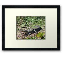 The Gator Framed Print
