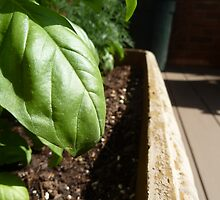 Fresh Basil  by Matt Corso