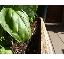 Fresh Basil  Photographic Print