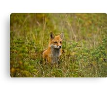 Red Fox In Field Metal Print