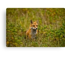 Red Fox In Field Canvas Print