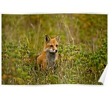 Red Fox In Field Poster