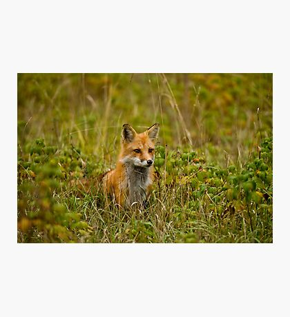 Red Fox In Field Photographic Print
