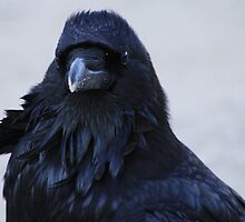 Portrait of a Raven by Alyce Taylor