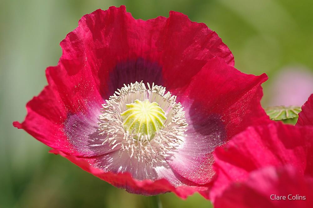 a precious poppy by Clare Colins