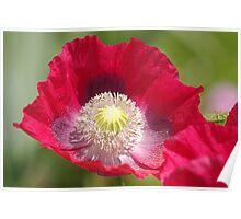 a precious poppy Poster