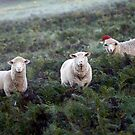 We wish ewe a Merry Christmas ... by Roberts Birze