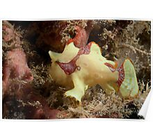 Painted Anglerfish,Mabul, Sabah, Malaysia Poster
