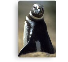 Magellan Penguin Canvas Print